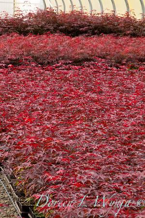 Acer Palmatum Emperor One_0102