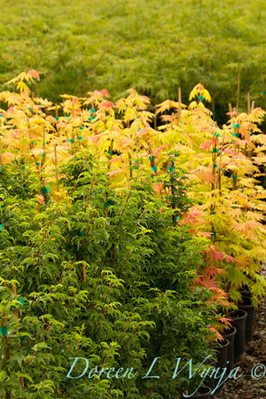 Acers_9936