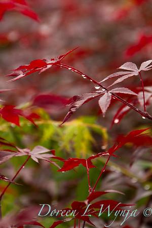 Acer palmatum Emperor_9800