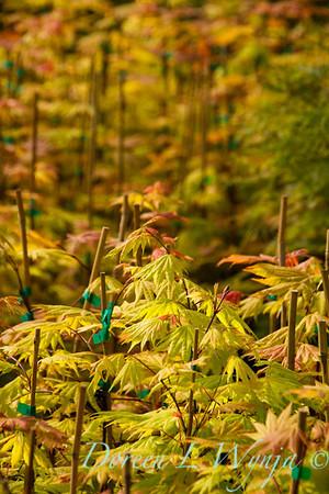 Acer shirasawanum Autumn Moon_9605