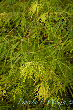 Acer palmatum dissectum Waterfall_9560