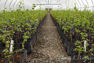 Corylus avellana greenhouse_0102