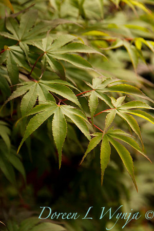 Acer palmatum Osakazuki_9580
