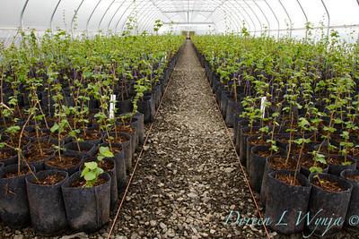 Corylus avellana greenhouse_0101