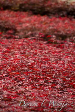 Acer Palmatum Emperor One_0103