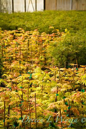 Acer shirasawanum Autumn Moon_9604