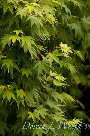 Acer palmatum Tobiosho_9950