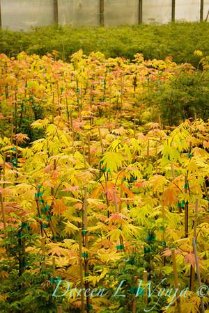 Acer shirasawanum Autumn Moon_9941