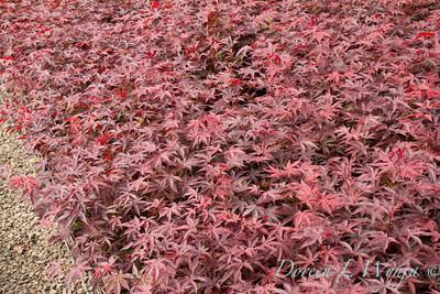 Acer Palmatum Emperor One_0104