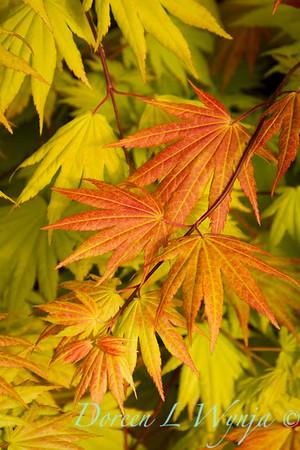 Acer shirasawanum Autumn Moon_9602