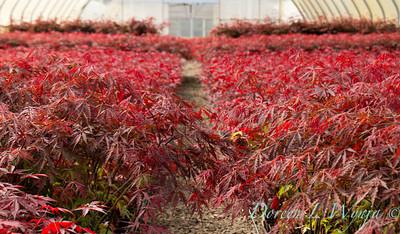 Acer Palmatum Tamukeyama_0103