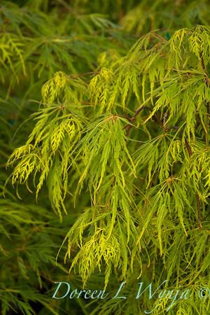 Acer palmatum dissectum Viridis_9650