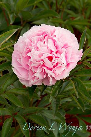 Paeonia lactiflora Sarah Bernhardt_4494
