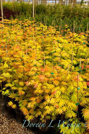 Acer shirasawanum Autumn Moon_9603
