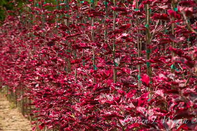 Fagus sylvatica Tricolor_4932