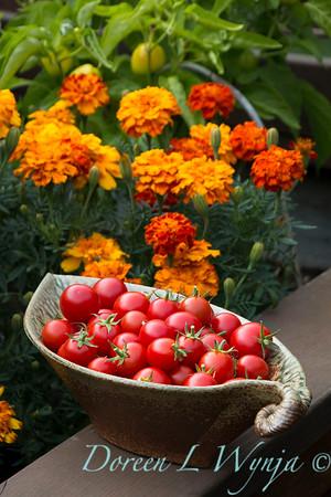 Tomato Nectar hybrid_3644