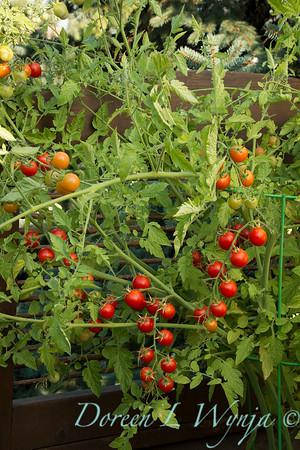 Tomato Nectar hybrid_3616