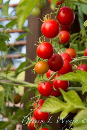 Tomato Nectar hybrid_3613