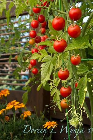 Tomato Nectar hybrid_3609