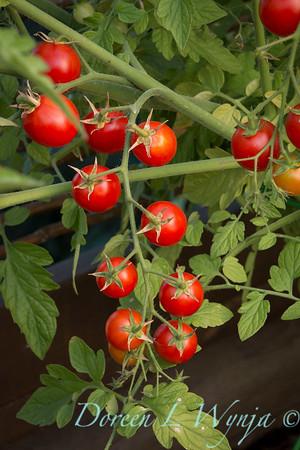 Tomato Nectar hybrid_3604