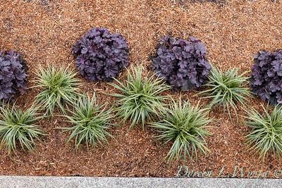 3583 Carex morrowii 'Ice Dance' - 44088 Heuchera x villosa 'TNHEUGB' GRANDE black coral bells overhead view_1314