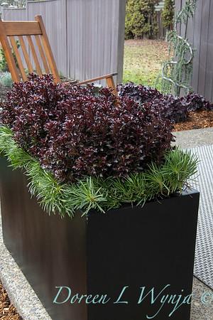 4535 Ilex x meserveae 'Mondo' Little Rascal with 089 Armeria maritima 'Splendens' tough planting_1252