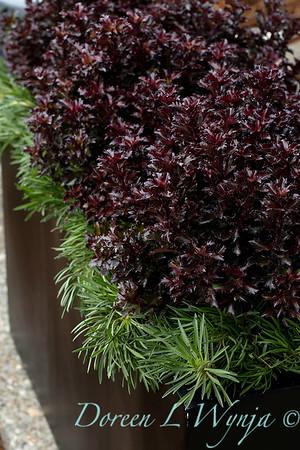4535 Ilex x meserveae 'Mondo' Little Rascal with 089 Armeria maritima 'Splendens' tough planting_1277