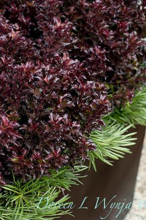 4535 Ilex x meserveae 'Mondo' Little Rascal with 089 Armeria maritima 'Splendens' tough planting_1283