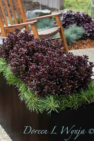4535 Ilex x meserveae 'Mondo' Little Rascal with 089 Armeria maritima 'Splendens' tough planting_1275