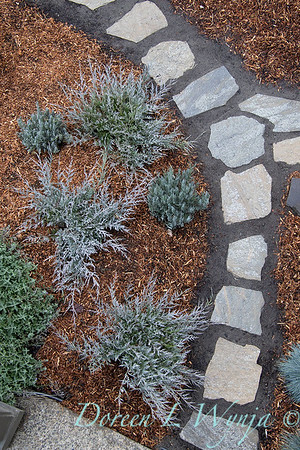 5228 Juniperus scopulorum 'MonOliver' burly blue - Lavender overhead landscape_1198
