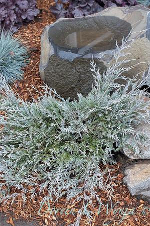 5228 Juniperus scopulorum 'MonOliver' burly - blue birdbath_1188