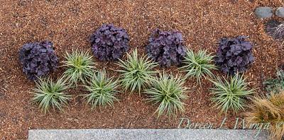 3583 Carex morrowii 'Ice Dance' - 44088 Heuchera x villosa 'TNHEUGB' GRANDE black coral bells overhead view_1316