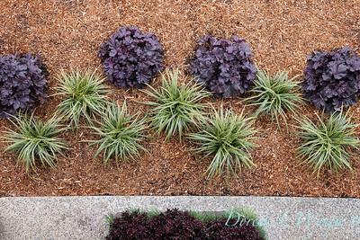 3583 Carex morrowii 'Ice Dance' - 44088 Heuchera x villosa 'TNHEUGB' GRANDE black coral bells overhead view_1311