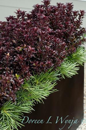 4535 Ilex x meserveae 'Mondo' Little Rascal with 089 Armeria maritima 'Splendens' tough planting_1282
