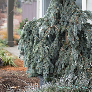 1939 Picea pungens 'The Blues'_1144