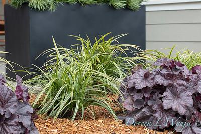 3583 Carex morrowii 'Ice Dance' - 44088 Heuchera x villosa 'TNHEUGB' GRANDE black coral bells_1305