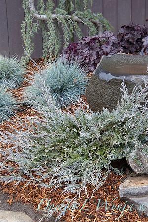 5228 Juniperus scopulorum 'MonOliver' birdbath_1168