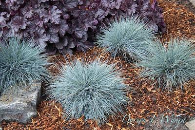 3667 Festuca glauca 'Elijah Blue' - 44088 Heuchera x villosa 'TNHEUGB'_1170
