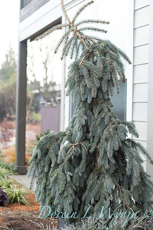 1939 Picea pungens 'The Blues'_1145