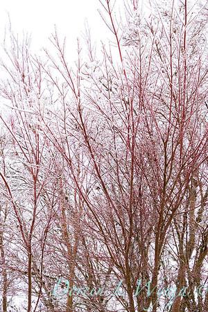 Acer palmatum 'Sango Kaku' coral bark in snow_4078