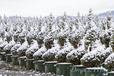 Picea glauca 'Conica' spirals - can yard in snow_4117