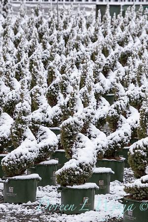 Picea glauca 'Conica' spirals - can yard in snow_4110