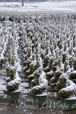 Picea glauca 'Conica' spirals - can yard in snow_4101