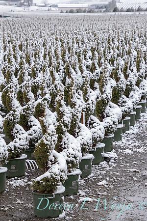 Picea glauca 'Conica' spirals - can yard in snow_4104