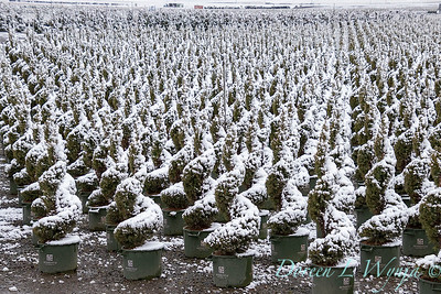 Picea glauca 'Conica' spirals - can yard in snow_4099