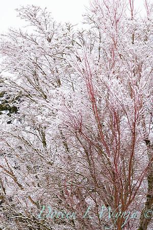 Acer palmatum 'Sango Kaku' coral bark in snow_4077