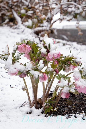 Helleborus x 'Windcliff Double Pink' in snow_4053