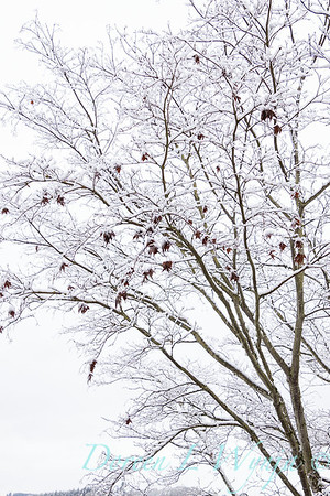 Acer palmatum 'Wolff' Emperor I with snow_4272