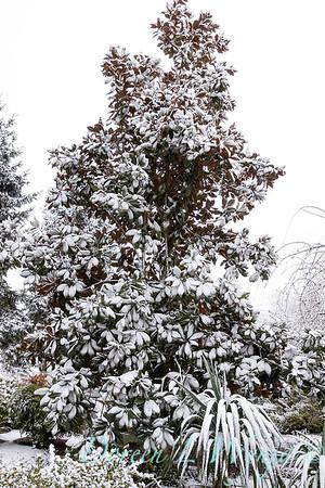 Magnolia - Yucca recurvifolia in snow_4261