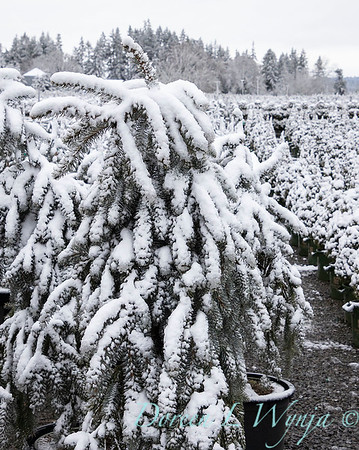 Picea pungens 'The Blues' in snow_4206